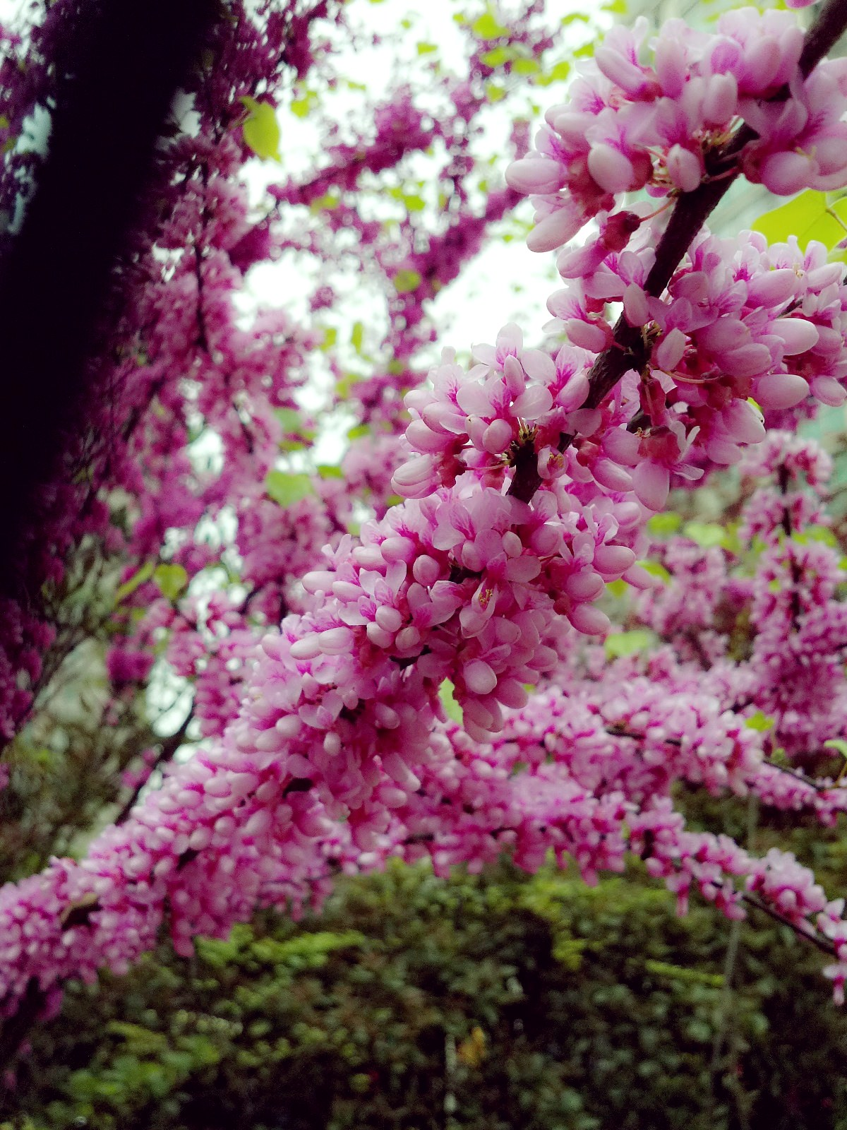 春景 × Vivian